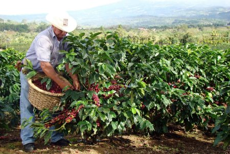 Kawa Świeżo Palona Salvador Organic Coffee Arabika